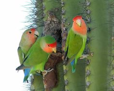 Rosy-faced Lovebirds (20 September 2008) at Gilbert Water Ranch. Photo by Pierre Deviche http://www.azfo.org/journal/Rosy-facedLovebird2011.html#
