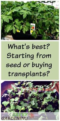 What's best? Starting your own seeds or buying transplants?