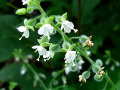 Enchanter's nightshade is a plant belonging to the genus Circaea. This genus was named after Circe because it was believed by early botanists to be the plant Circe uses in the potion that she gives to Odysseus's men.
