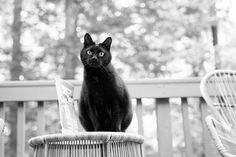 A soft black and white image of a black cat. Photo by DeSilva Studios. Animal Pictures, Cool Pictures, Animal Welfare League, School Photographer, Icelandic Horse, German Shepherd Puppies, My Favorite Image, Animal Photography, Animals And Pets