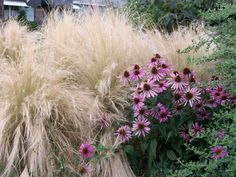 Drought tolerant - Echinacea Purpurea (Purple Coneflower) and Stipa Tenuissima (Mexican Feather Grass) Pink Perennials, Herbaceous Perennials, Mexican Feather Grass, Dry Garden, Summer Garden, Shade Grass, Stipa, Herbaceous Border, Drought Tolerant Landscape