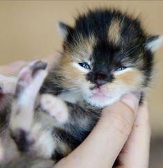 #catlovers #petsofinstagrams #beautifulcats #catoftheday #pet #petinstagram #nature #photography #meow #catcute #catloves #catlover #ilovemycat #prettycats #catslife #kittycat #catspicture #kittens #kitty #catoftheday #catlovers #beautifulcats #happycatclub #catloversclub #catlady #catcollection #petphotography #morningcuddles #catcuddles #catslover #petsofinstagrams #beautifulcats #catoftheday #photography #catspicture #kittens #kitty #catsofinstagram #cutie #furbaby #cats Pretty Kitty, Pretty Cats, Beautiful Cats, Cute Fluffy Kittens, Cute Cats, Animal Photography, Nature Photography, Morning Cuddles, Calico Cats