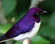 purple starling - beautiful, simply beautiful