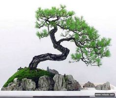 bonsai_017
