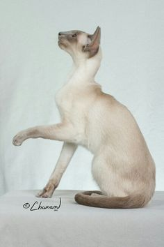 Persian cats for sale lebanon pa