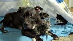 A Pit bull, akit megmentettek a harctól, most cicák ölelgetésével tölti napjait