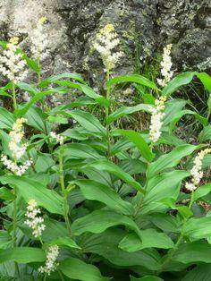 Solomon's Plume (Maianthemum racemosum AKA Smilacina racemosa), Smilacine à grappes