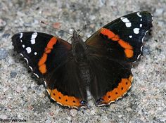 Red Admiral Butterfly (Vanessa atalanta) - One of our most distinctive butterflies, with a bold reddish-orange stripes and white spots on brownish-black wings...