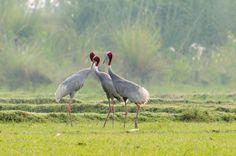 Sarus Cranes by Imran Ahmad on 500px