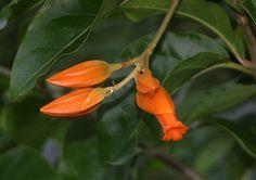 Juanulloa aurantiaca flower