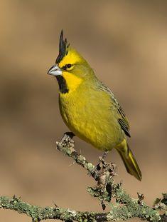 Cardenal Amarillo - Yellow cardinal