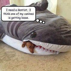 I need a dentist. I think one of my canines is getting loose.   #DentalHumor #DentalJokes #Dentistry #Dentist #Dentaltown #HowardFarran