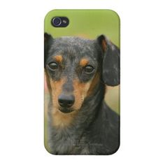 Smooth-haired Miniature Dachshund Puppy Looking at Case For iPhone 4   dachshund miniature, miniature dapple dachshund, dachshund ornament #dachshundfanclub #dachshundsofinstragram #dachshundsofinstagra Dapple Dachshund Puppy, Dachshund Funny, Black Dachshund, Dachshund Puppies For Sale, Dachshund Quotes, Dachshund Shirt, Wire Haired Dachshund, Dachshund Gifts, Dachshund Costume