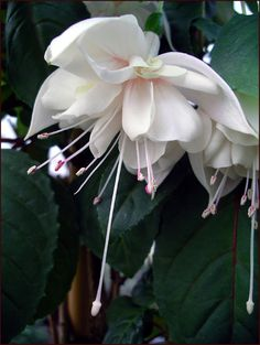 Fuchsia Catalogue W Exotic Flowers, Amazing Flowers, White Flowers, Beautiful Flowers, Fuchsia Flower, My Flower, Plants For Hanging Baskets, Moon Garden, White Gardens