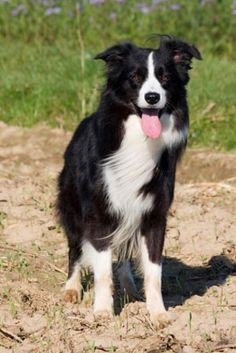 Border Collie - I would love one of these one day.