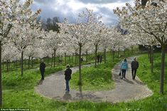 Going for a walk: Visitors to Alnwick Garden admire the spectacular blossom on Prunus serrulata 'Taihaku' trees in the Cherry Orchard today