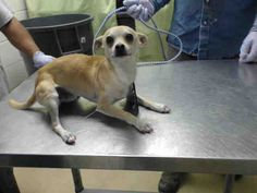 01/17/15-HOUSTON - This DOG - ID#A423043 I am a male, tan Chihuahua - Smooth Coated. The shelter staff think I am about 2 years old. I have been at the shelter since Jan 17, 2015.
