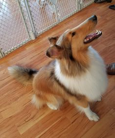 Collie Puppies, Collie Dog, The Perfect Dog, Rough Collie, Sheltie, Four Legged, Rottweiler, Old Friends, Dog Breeds