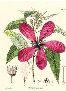 Humboldt Hibiscus