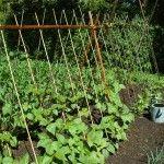 Pole Beans, Tips for Growing Pole Beans, Growing Green Beans Growing Lima Beans, Growing Green Beans, Bean Trellis, Garden Trellis, Bamboo Trellis, Tomato Trellis, Tomato Cage, Bamboo Poles, Planting Vegetables