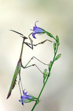 empusa pennata - male praying mantis from spain, photo by jimmy hoffman