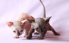 El gato Esfinge, inteligencia y gracia sin pelo http://blog.theyellowpet.es/esfinge-inteligencia-gracia/