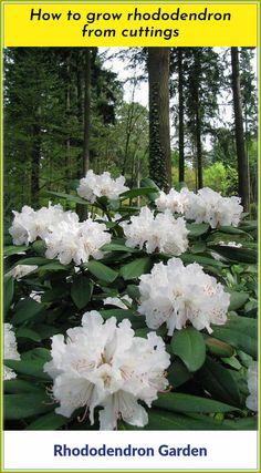 Tips To Plant a Rhododendron Garden At Your Home Popular garden shrubs with colorful flowers that bl Garden Shrubs, Shade Garden, Garden Plants, Colorful Flowers, White Flowers, Beautiful Flowers, Moon Garden, Dream Garden, Woodland Garden
