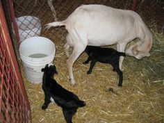 New baby goats born the day before at the Island County Fair on Whidbey Island, Washington.