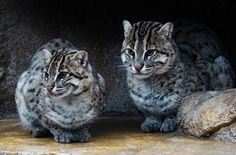 Iriomote Cat