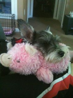 Lexi snoozing, using her toy for a pillow.