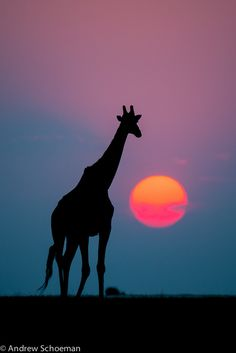 Giraffe silhouetted by the setting sun in Chobe National Park, Botswana.  Wildlife photography by Andrew Schoeman.