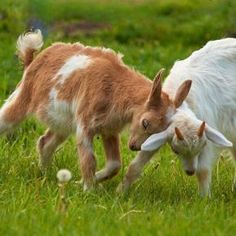 Search For: Goats - Pixdaus