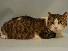 """J-LO - A1066850 - - Manhattan  Please Share:   ***TO BE DESTROYED 03/18/16***J-LO is a 13 year old, SPAYED female, DUMPED because the owners are moving and those plans did not include J-LO! To move without finding a home that accepts cats is one thing, dumping your cat of 13 years is another, let's top it off with dropping the cat off at a high kill shelter, that's the final straw! A volunteer said this – """"I guess J Lo is our resident diva,but don&#8"""
