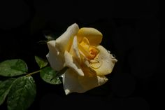 Water droplets on the yellow rose.
