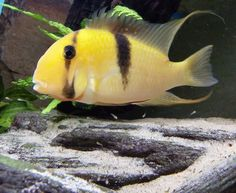 Live Freshwater Aquarium Fish - Find incredible deals on Live Freshwater Aquarium Fish and Live Freshwater Aquarium Fish accessories. Let us show you how to save money on Live Freshwater Aquarium Fish NOW! Tropical Fish Aquarium, Freshwater Aquarium Fish, Fish Aquariums, South American Cichlids, Oscar Fish, Monster Fishing, Exotic Fish, Colorful Fish, Deep Sea