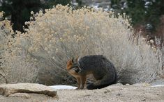 Urocyon cinereoargenteus (gray fox) at 7000ft in Eastern Sierras, in front of rabbitbrush. Photo: Wikimedia user Dcrjsr