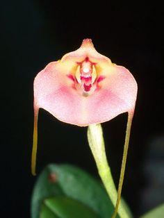 Orchid Species Photographs Masdevallia