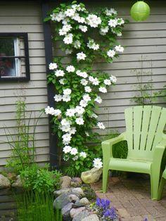 clematis kletterpflanze tipps pflegen garten terrasse balkon teich