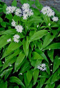 RAMSLØK - Allium ursinum