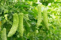 Bitter melon is a plant for vegetable garden with deeply lobed leaves and fruit. Tips for growing bitter melon in the vegetable garden is to soak the seeds before planting. Bitter Cucumbers, Bitter Melon, Rooftop Garden, Balcony Garden, Balcony Planters, Kiwi Growing, Growing Vegetables In Containers, Garden Web, Seeds For Sale