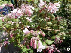 Kolkwitzia amabilis 'Pink Cloud' - Koninginnestruik, Koninginnenstruik, in de Digituin.