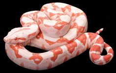 Boa and Ball Python Morphs Pretty Snakes, Cool Snakes, Beautiful Snakes, Animals Beautiful, Python Royal, Cute Reptiles, Reptiles And Amphibians, Red Tail Boa, Kinds Of Snakes