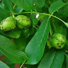 Walnussblätter Anwendung Source by Healthy Life, Healthy Living, Hair Vitamins, Health Promotion, Garden Trees, Natural Cosmetics, Fruit Trees, Herbal Medicine, Good To Know