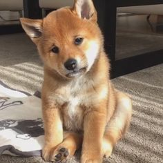 Brain Training For Dogs - Adrienne Farricelli's Online Dog Trainer Super Cute Puppies, Cute Baby Dogs, Cute Dogs And Puppies, Pet Dogs, Dog Cat, Pets, Adorable Puppies, Cute Puppy Pics, Akita Dog