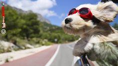 Cani in auto: le norme del codice della strada