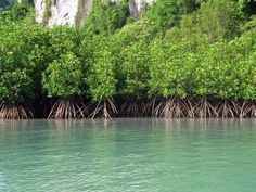 Mangrove trees next to cool green water!