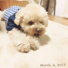 ・ 福さん、やっと ・ ヒマチーデビュー✨ ・ 必死にカミカミしてます ・ 取ろうとすると怒ります ・ ・ #ヒマチー #ヒマラヤチーズ #ヒマチーデビュー #初めてのヒマチー ##福 #愛犬 #犬 #プードル #トイプードル #タイニープードル #dog #poodle #toypoodle #大切な家族 #最愛の息子 #愛おしい #大好き #幸せ #目に入れても痛くない #ワンコなしでは生きて行けません会 #ふわもこ部
