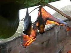 Bats of the genus Pteropus, belonging to the megabat suborder, Megachiroptera, are the largest bats in the world. They are commonly known as the fruit bats or flying foxes among other colloquial names.