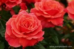 Another photograph of Rosa 'I Am Macmillan' in The Festival of Roses Marquee at the 2015 RHS Hampton Court Palace Flower Show.  This vibrant salmon coloured rose will be available to purchase from September 2015.