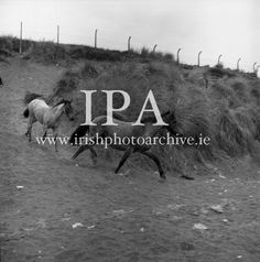 Connemara Pony 'Ocean Breeze' with her 4 month old foal at Portmarnock Strand and Connemara Pony, 4 Month Olds, Photo Archive, Ponies, Breeze, Ireland, Moose Art, Ocean, Gallery